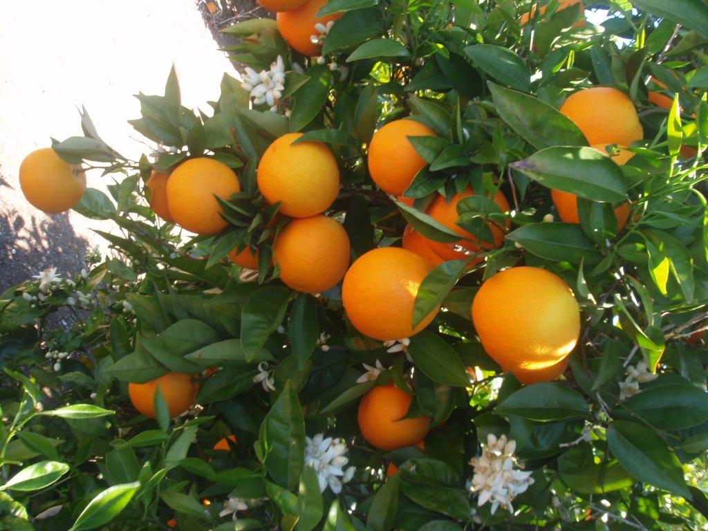 naranjas-gumer.jpg